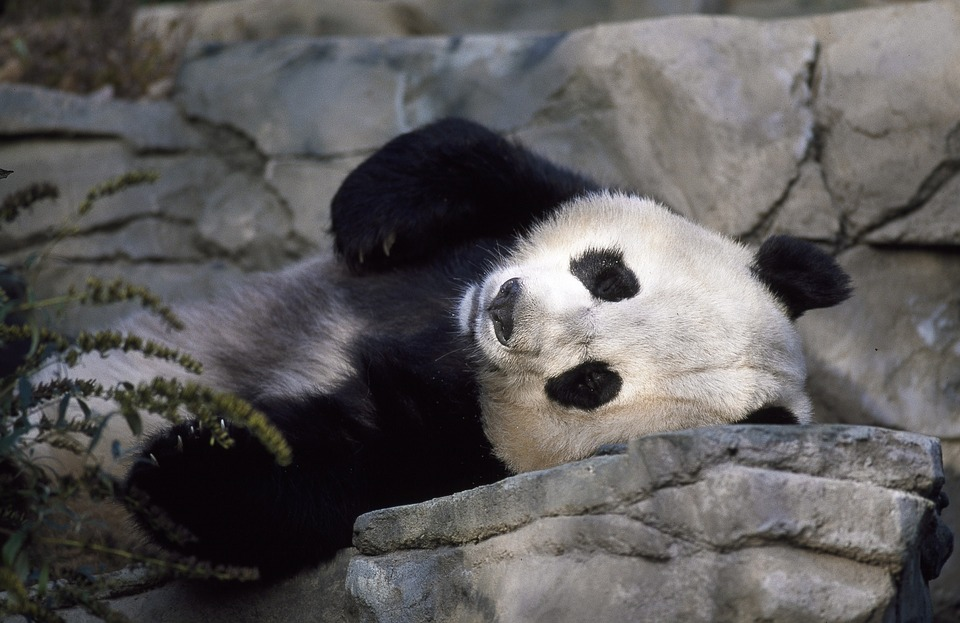 """""""Эффект панды"""" выглядит не так мило..."""